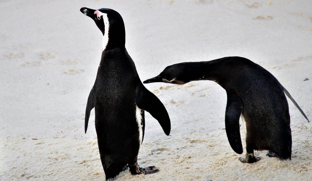 A pair of penguins, in Western Cape, South Africa