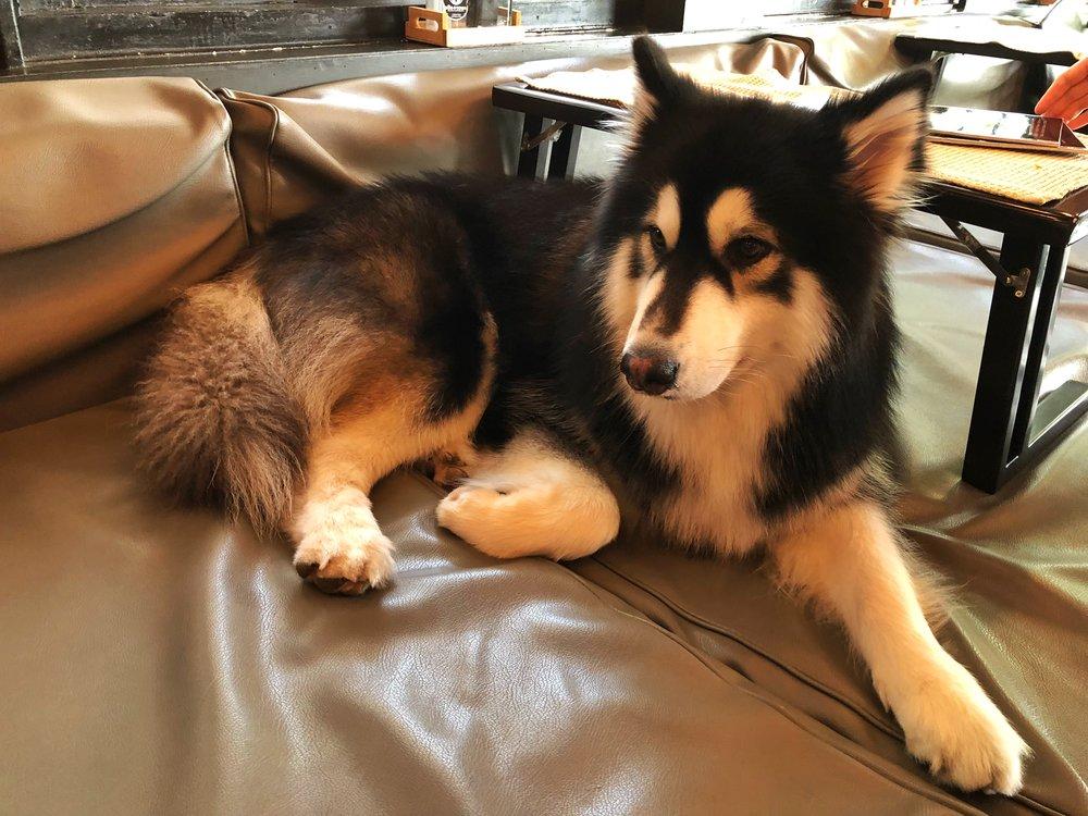Dog in Town Cafe Bangkok Alaskan Malamute