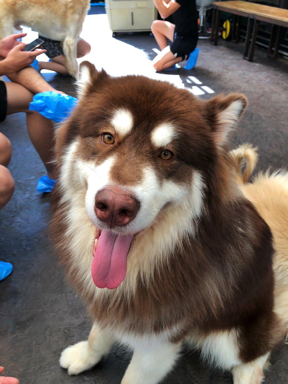 Big Dog Cafe Bangkok Alaskan Malamute