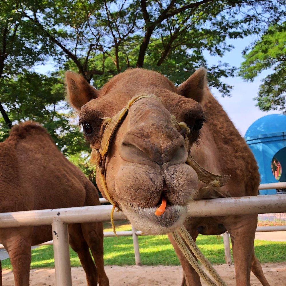 camel republic hua hin