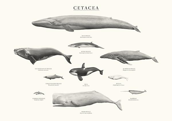 Sam Lyne framed A3 Cetacea print