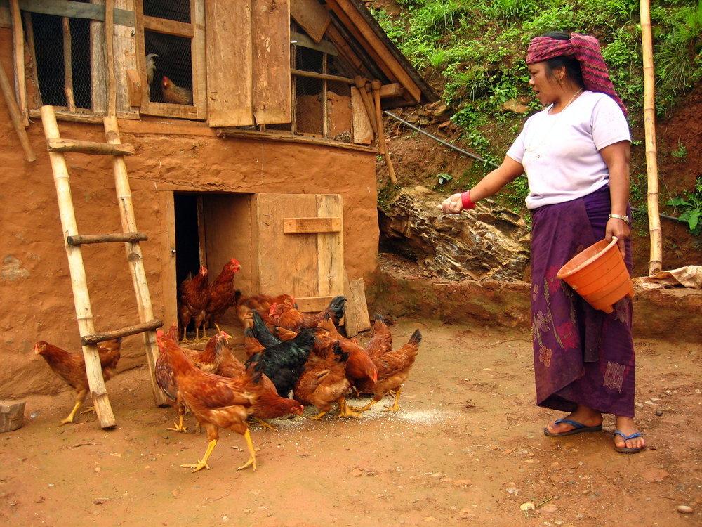 Feeding chicken farms.JPG