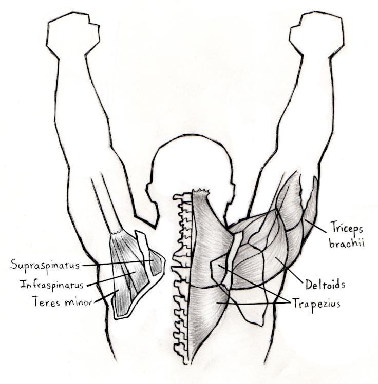 press muscles.jpg