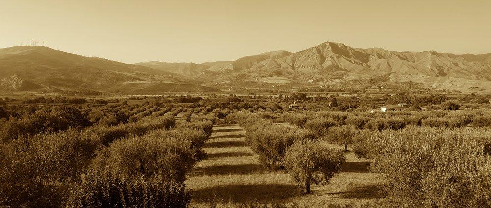 Panoramica olivi #2.jpg
