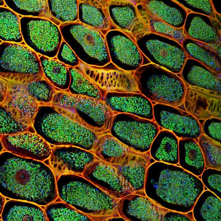 47f5388356009e514f0e6ae7fc485d2f--confocal-microscopy-plant-tissue.jpg