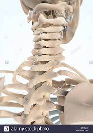 Average size neck bones