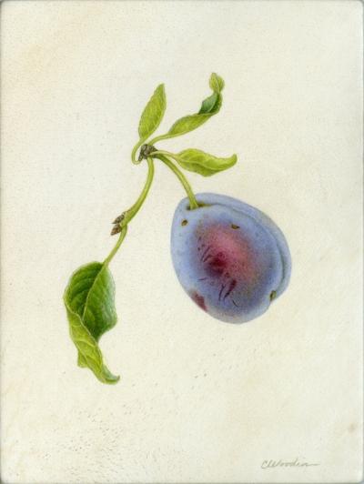 "Purple plum, watercolor on vellum 6"" x 5"""