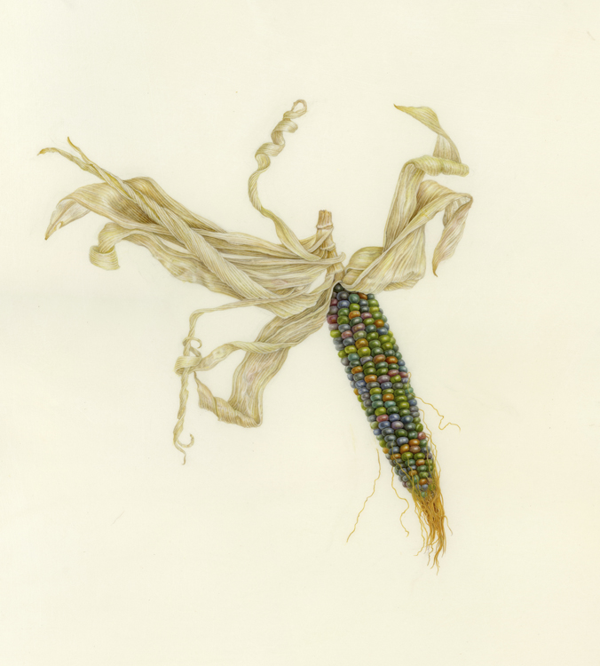 Zea mays 'Glass Gem', watercolor on Kelmscott vellum, ©2018 C.Woodin  I grew this Glass Gem corn so I could paint it. I had seen it in photos and the color seemed beyond belief. True to form though, it ripened in rainbow colors, in a variety of combinations, each ear different. It takes a long time to ripen in NY State, but a few ears did ripen before winter. And I went out to the garden in February when there was a brief melt-off of snow, to clean up the standing stalks of corn. What a surprise to find beautiful colorful ears of corn still on the stalks!