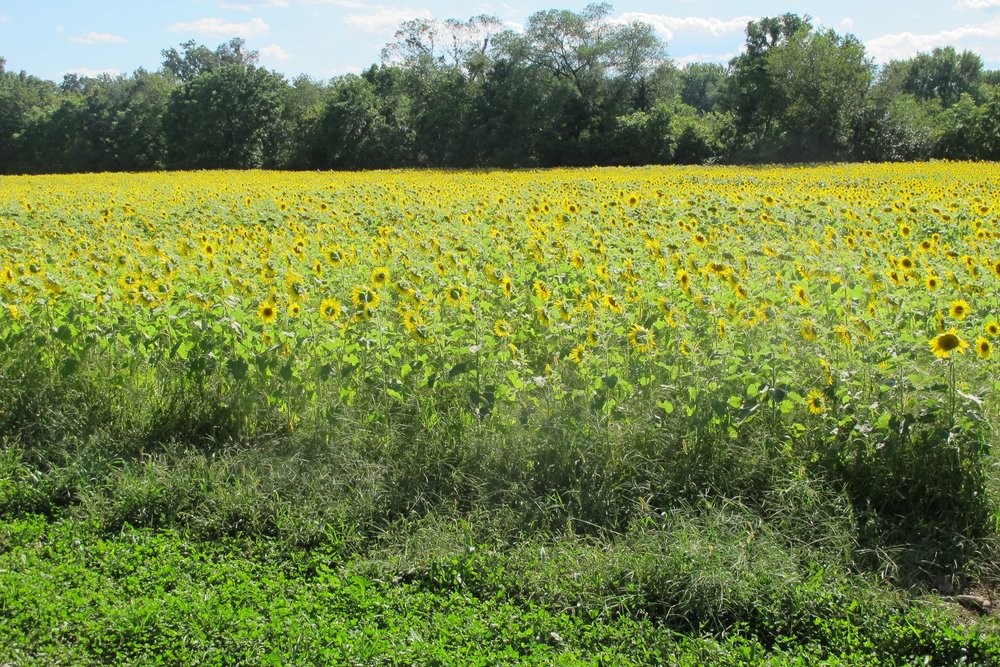 Some of the sunflowers at Arrowood Farms last year! Thank you Let, Blake, and Jake for the great subjects!