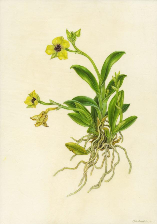 Telepogon hutchinsonii , watercolor on vellum over panel ©CWoodin 2014