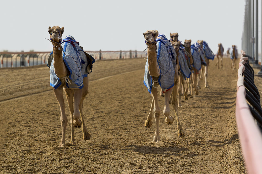 Believe it or not, there are robots riding these camels.