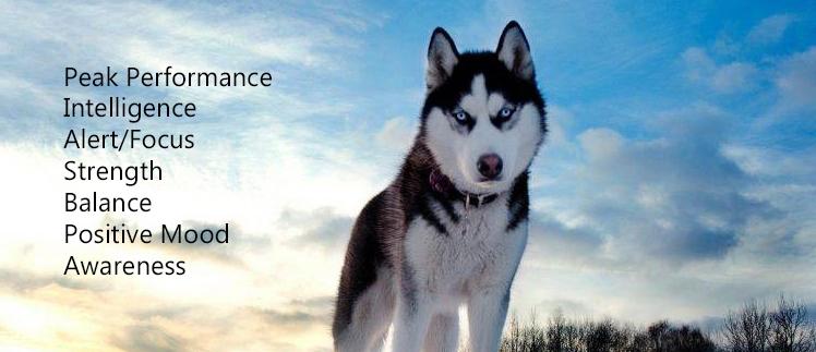 new husky siber.jpg