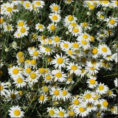 Roman Chamomile made up primarily of Esters such as 4-Methylamyl angelate, Isoamyl tiglate, Isobutyl angelate