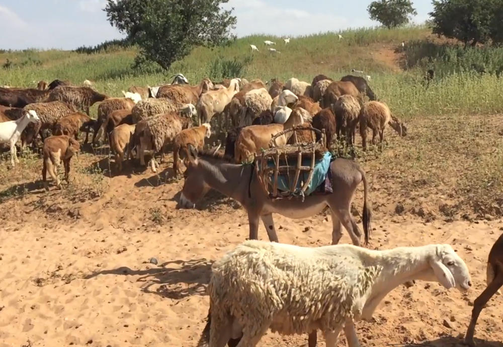 Livestock on the move.