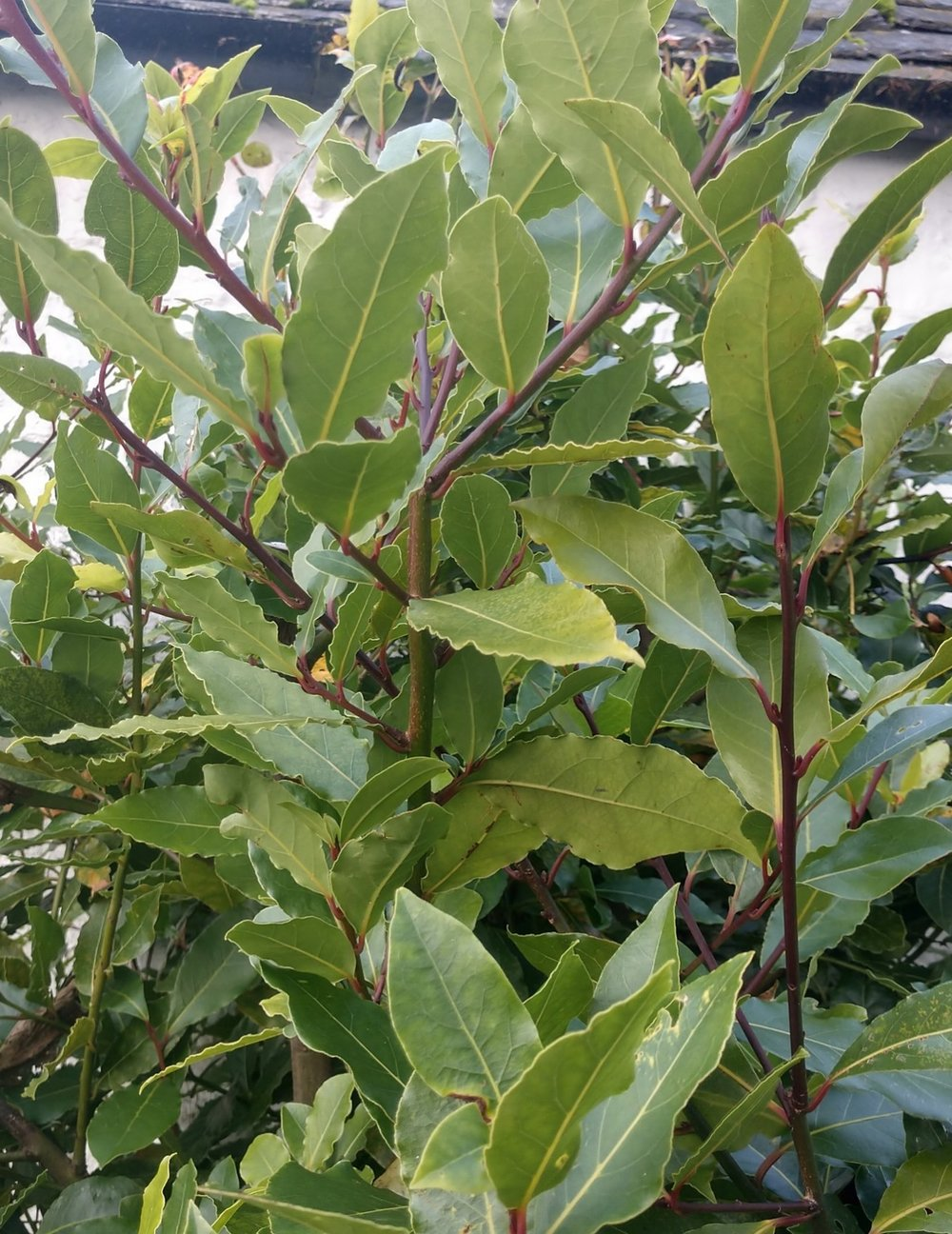 Bay Leaves on Our Resident Tree