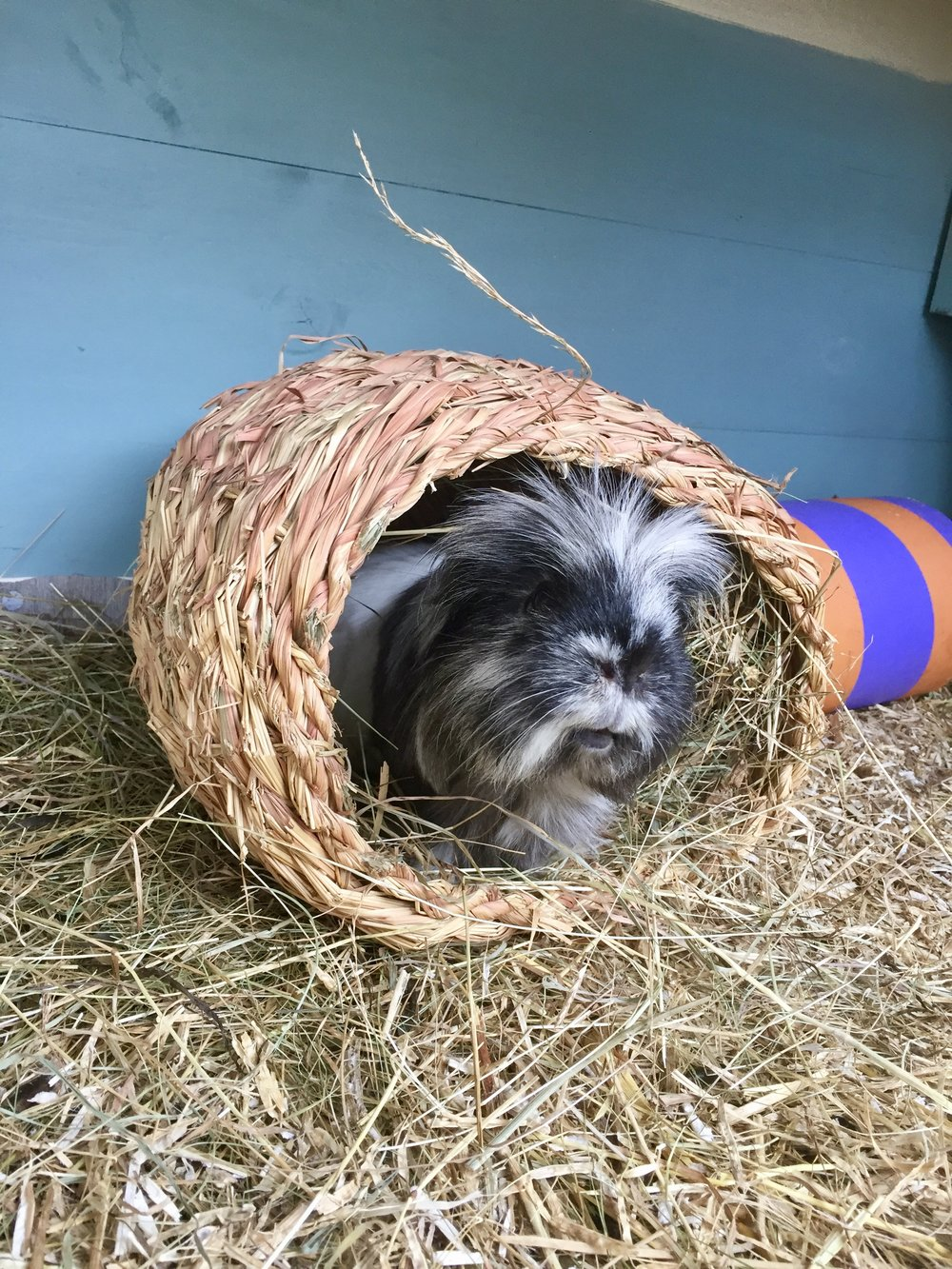 Guinea pig in a grassy nest, in one of our hutches