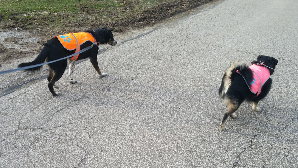 Safety first! The doggers are happy to be getting outside for more walks now that the snow is finally gone, even if it means having to wear their reflective vests.
