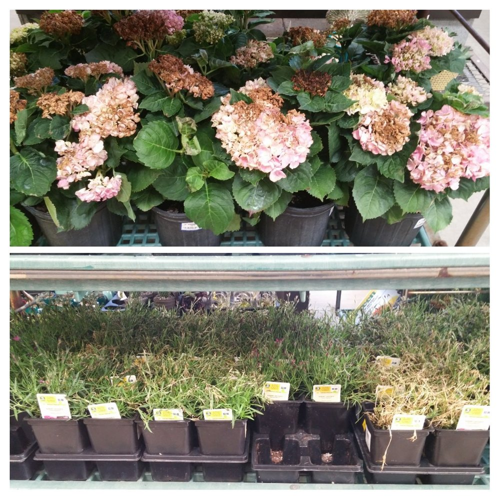 The big-box home improvement store's loss is our gain! We snapped up damaged sweet william, hostas and hydrangeas at clearance prices because the garden center didn't cover these plants when it snowed the other day.