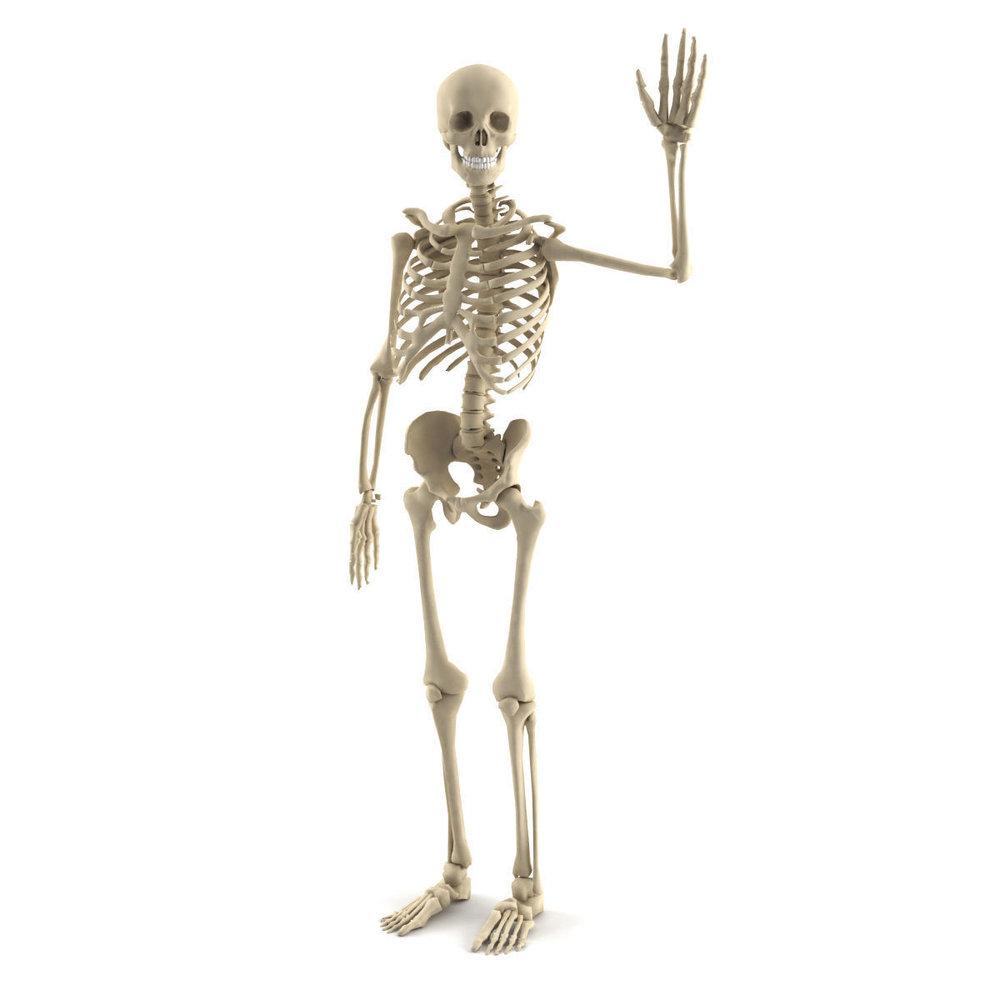 human-skeleton-3d-model-max-obj-3ds-fbx-mtl-mat.jpg