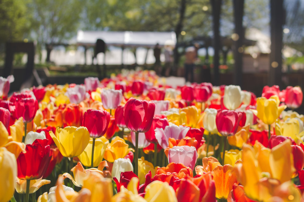 Tulips @ Denver Botanic gardens