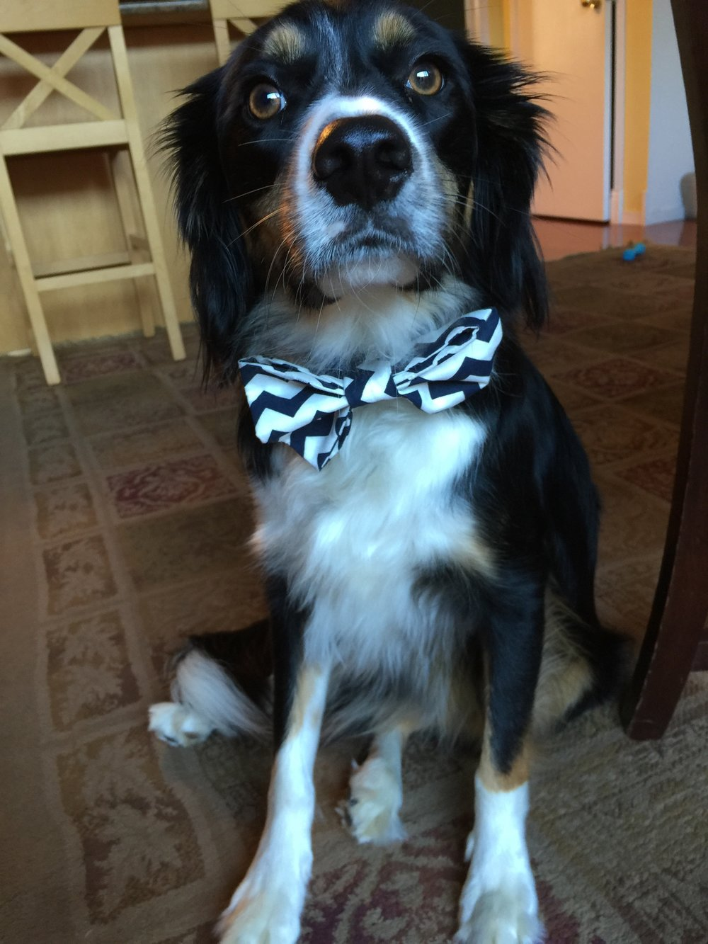 Pancake putting up with my dog bow tie sewing lesson