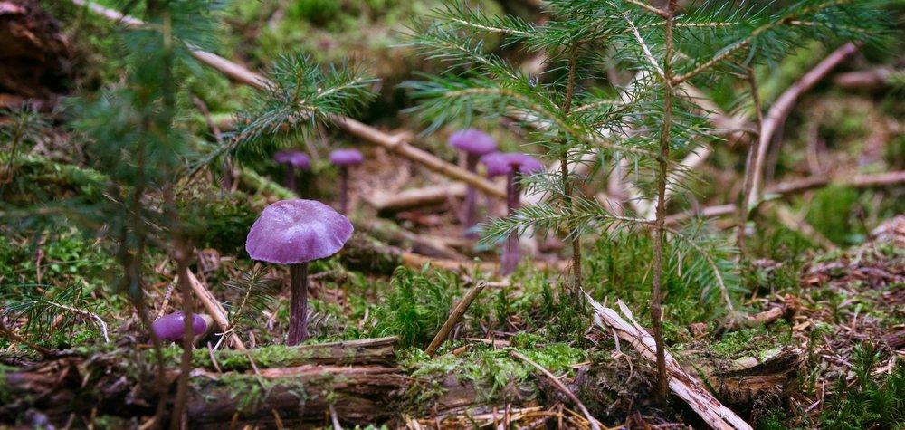 ecology purple laccaria.jpeg