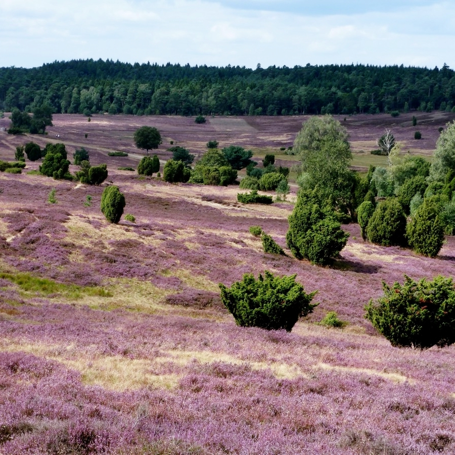 ecology heathland.jpg