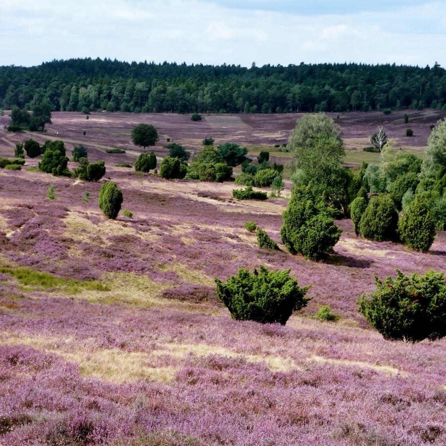 ecology heathland.jpg