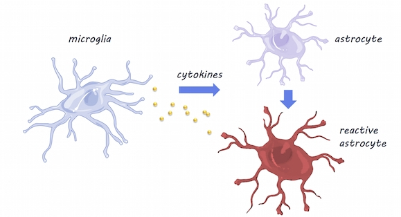 Microglia & Astrocytes,  S  ervier Medical Art,  image by BrainPost,  CC BY-SA 3.0