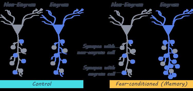 Anı Oluşumu Sırasında, Engram Nöronları Arası Bağlantı Görüntülendi
