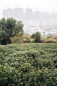 tea-plantation-in-hangzhou-china.jpg