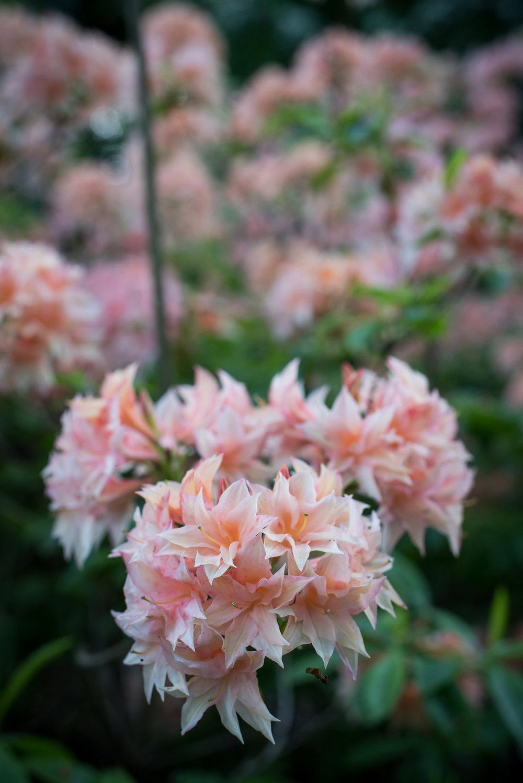 rhododendron-gesellschaft15.jpg