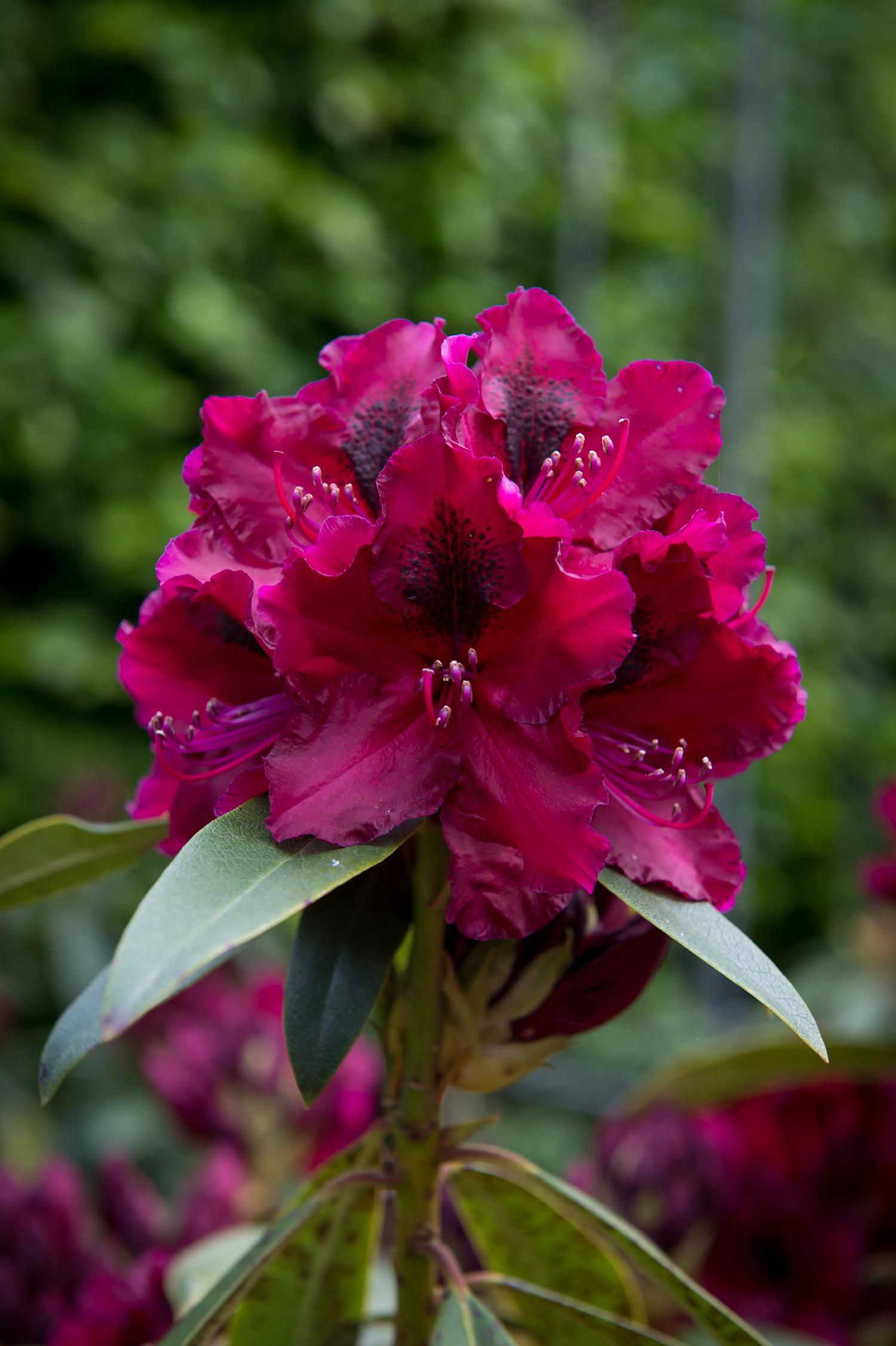 Atemberaubend Deutsche Rhododendron-Gesellschaft e.V. @PD_21