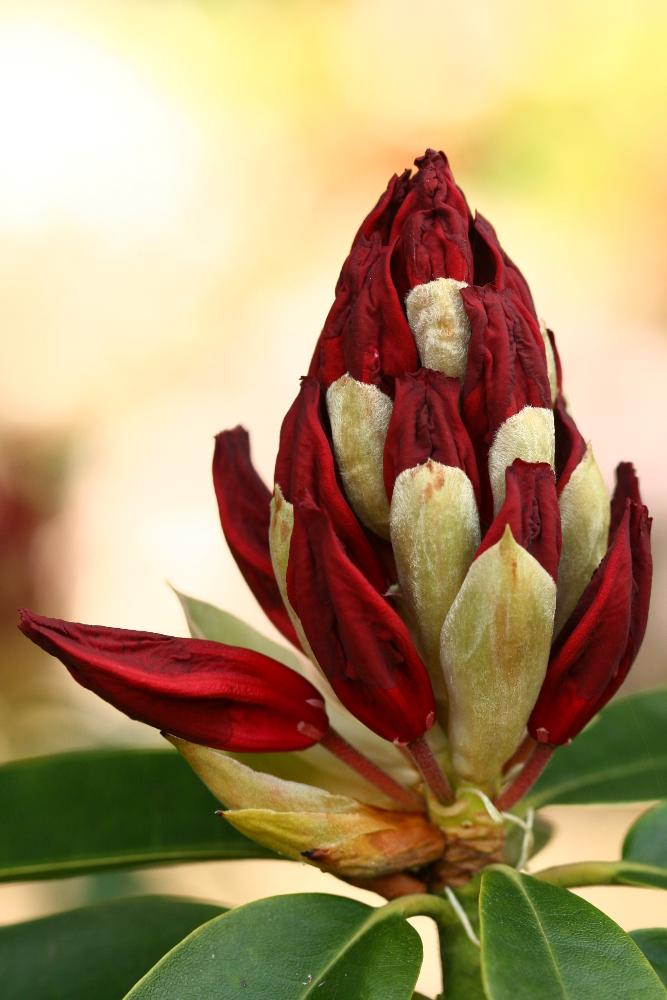 Ziel: Rhododendron zur Blüte bringen!