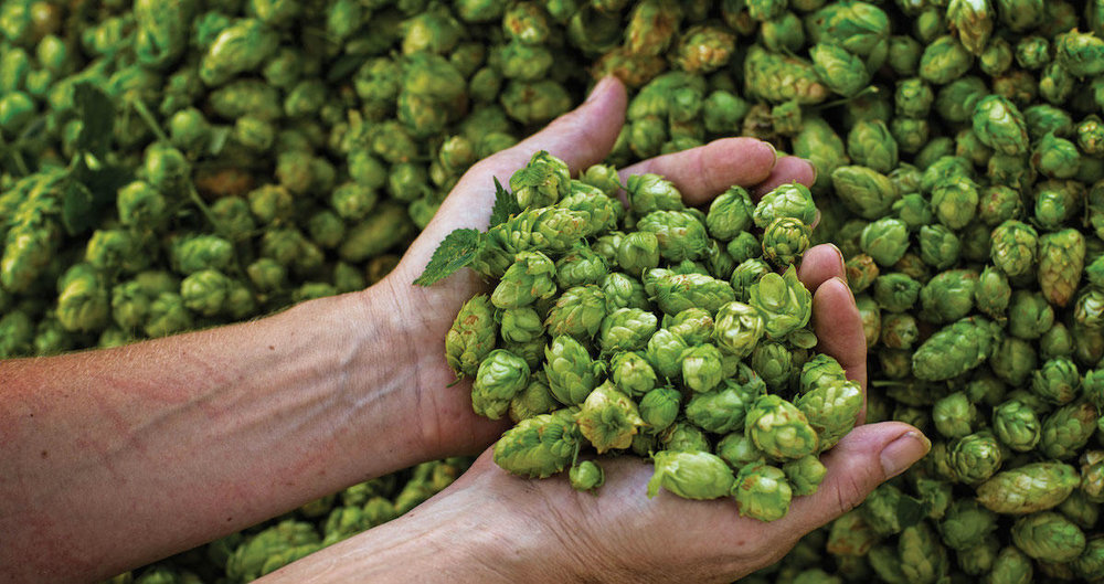 hops in hands.jpg