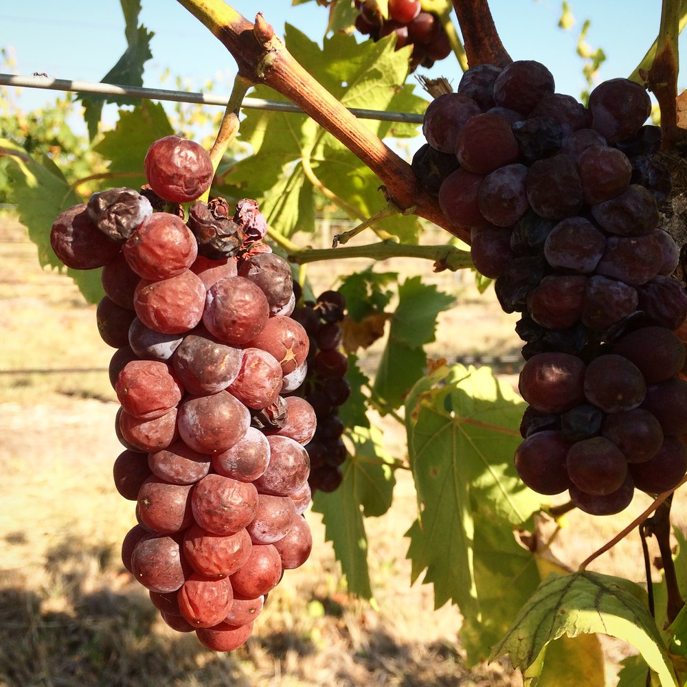 Muscat grapes for sweet wine. Last picking day of vintage 2015.