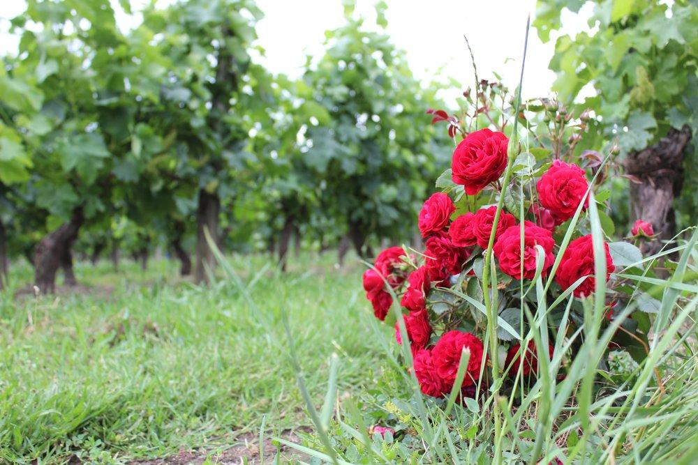 Kauniit ruusut luomutarhojen päädyssä.
