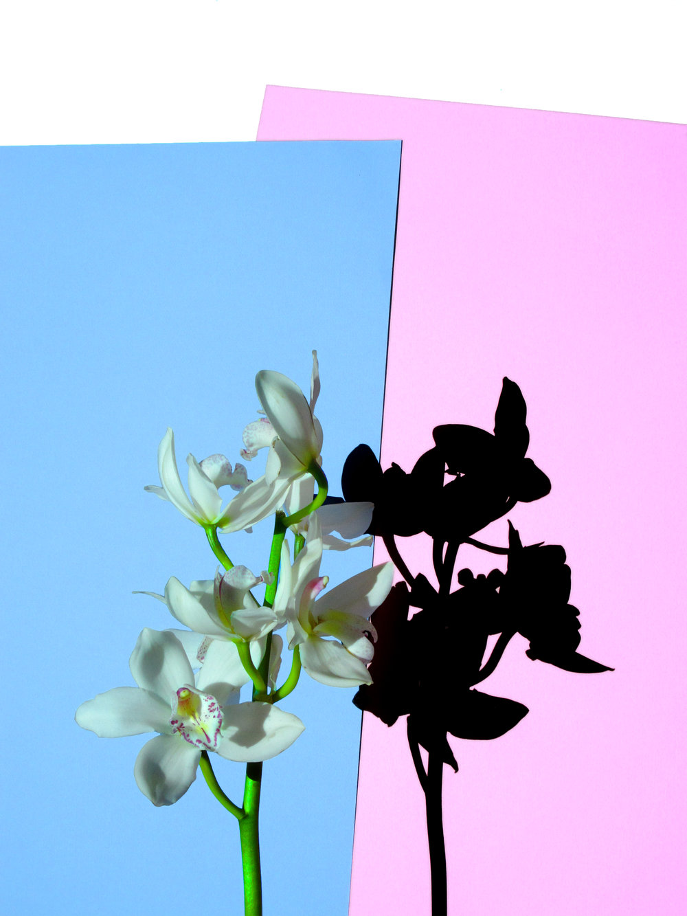 12x16_pink_blue_orchid.jpg