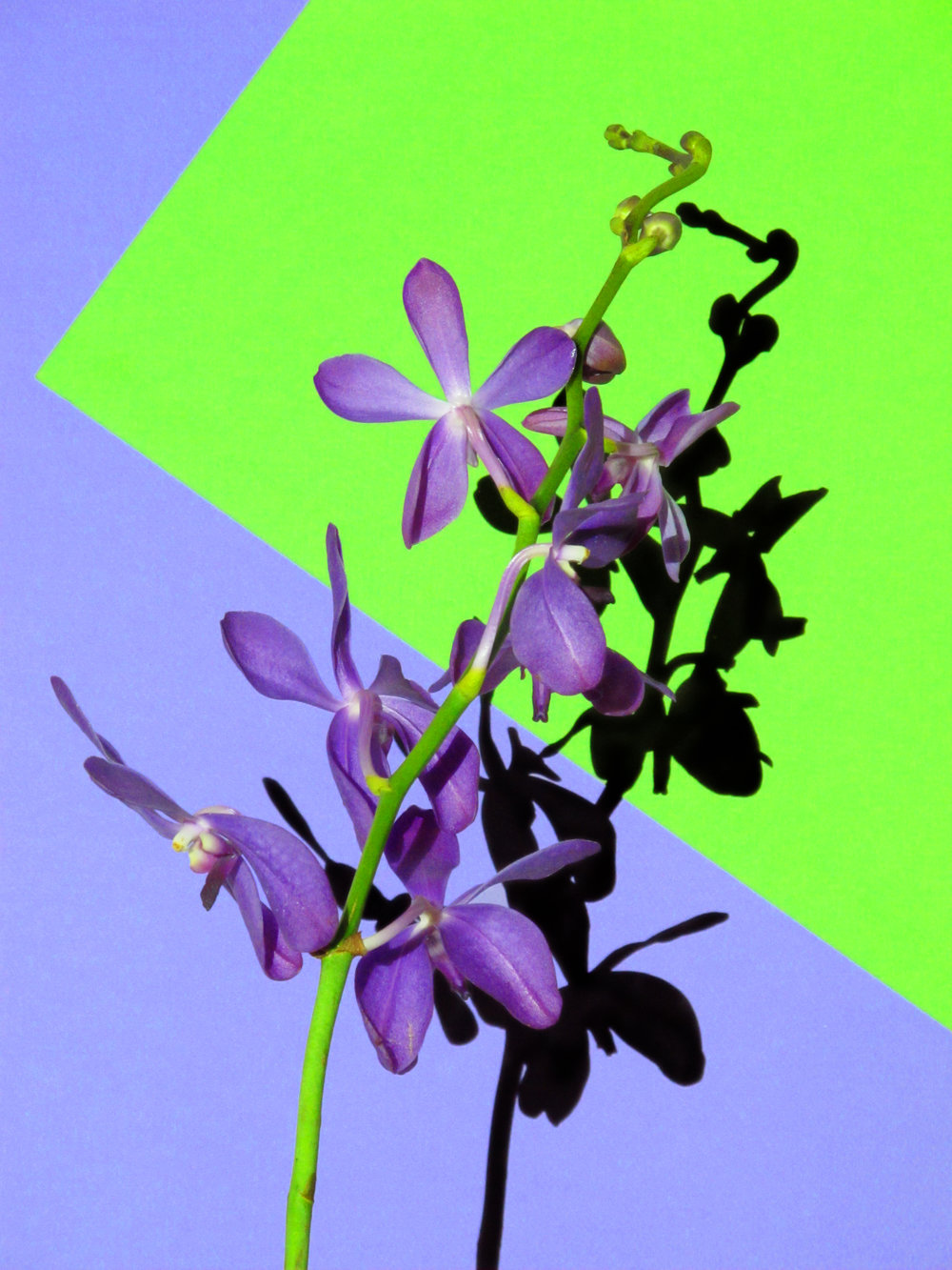 16x20_purple_green_orchid.jpg