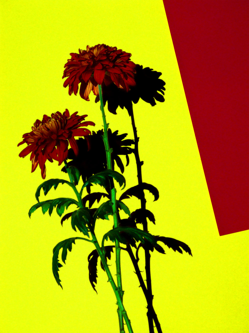 16x20_red_yellow_crysanthamum.jpg