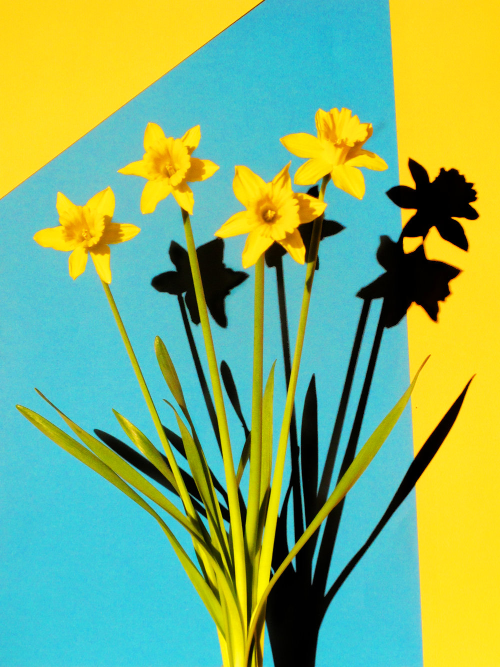 16x20_yellow_blue_daffodil.jpg