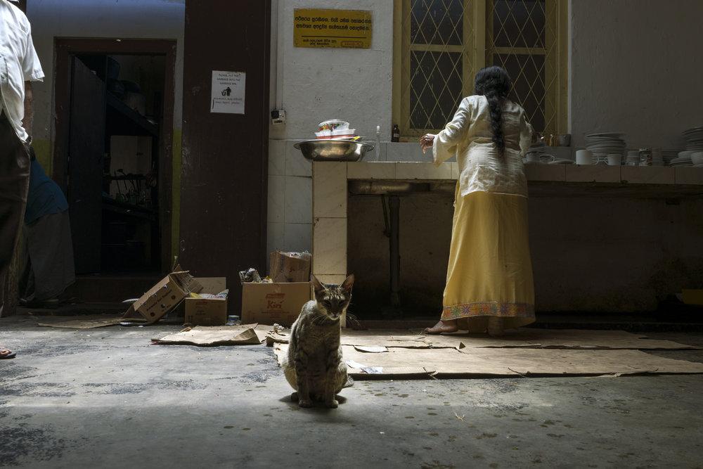 Sri lanka cat.jpg