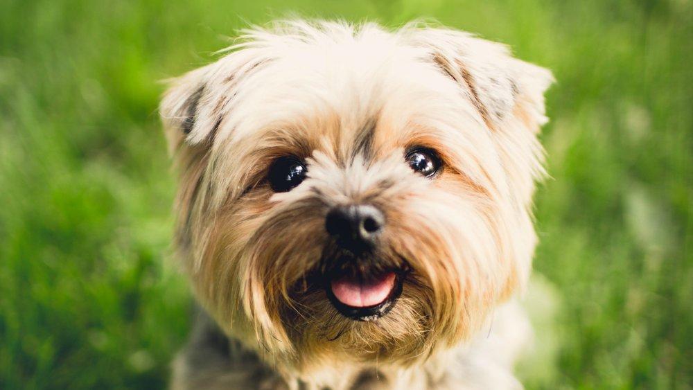 9. Yorkshire Terriers -