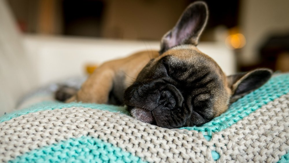 6. French Bulldogs -