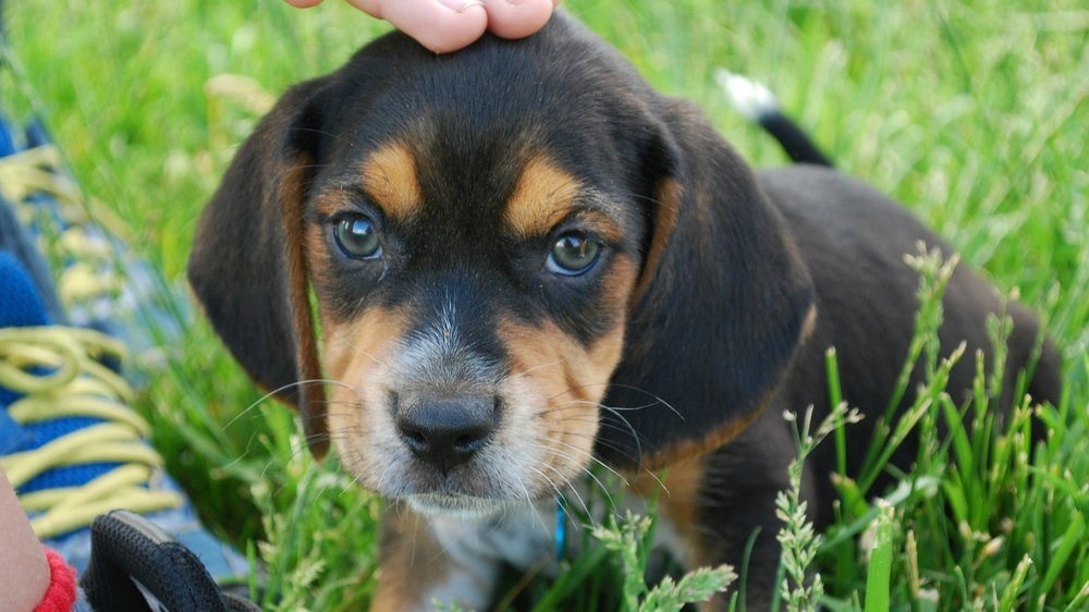 5. Beagles -