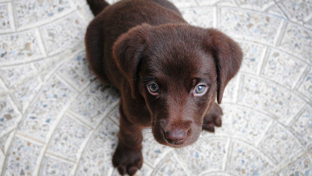 1. Labrador Retrievers -