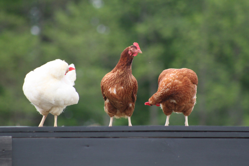 Three chickens standing around