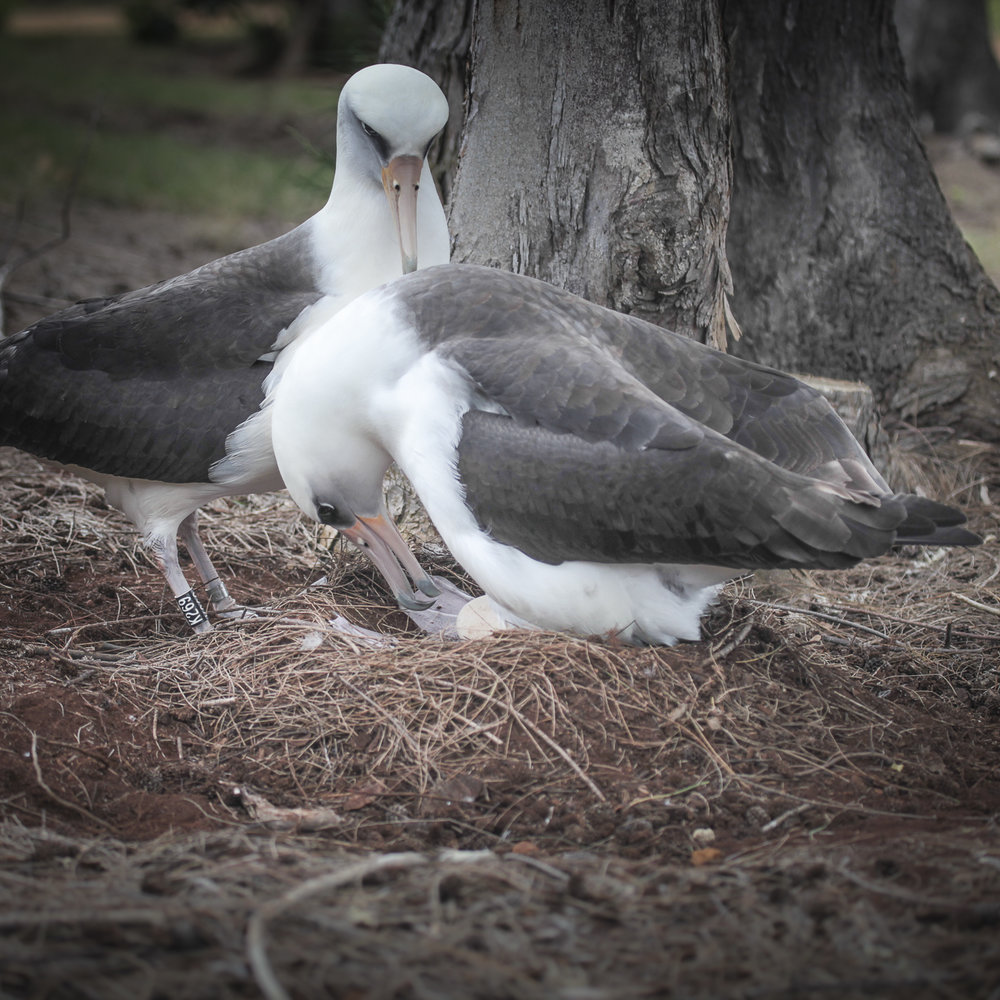 If YOU'D LIKE AN ALBATROSS PHOTOGRAPH ON THIS WEBSITE, PLEASE KNOW I AM DONATING THIRTY PERCENT OF THIS MONTH'S NET PROCEEDS TO SAVE OUR SHEARWATER SEABIRD REHABILITATION CENTER. - Help me. help them.