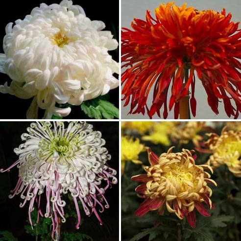 Ch 159 - chrysanthemum final.png