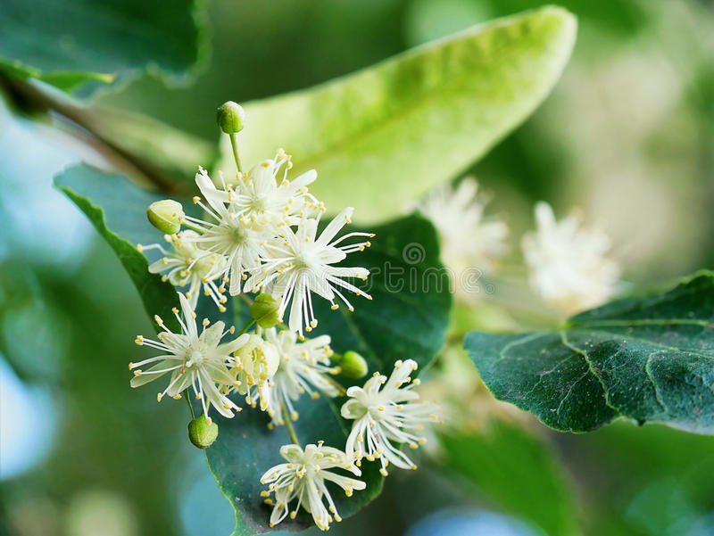 flowering-linden-tree-tilia-flowers-branches-closeup-94665733.jpg